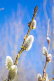 Willow blossom Stock Photography