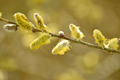 Willow blossom stock images