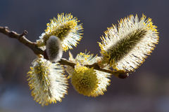 Willow blossom Royalty Free Stock Photo