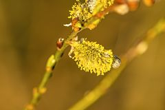 Willow blossom in springtime. In Germany Royalty Free Stock Photography