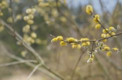 Willow. This is blossoming willow in Caucasus wood in spring stock photos