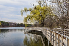 Willow by the Boardwalk. Willow lined boardwalk at Kelso Park Stock Photography