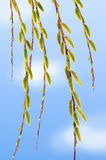 Willow branch Stock Image