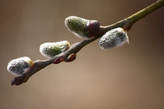 Willow branch. Royalty Free Stock Photography