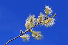 Willow branch Stock Photography