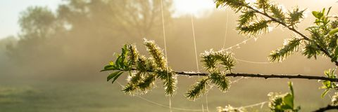 Willow branch with blossoming buds and foliage on a sunny misty morning. Spring season, April. Web banner royalty free stock photos
