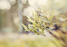 Willow branch on blurred background with bokeh. Royalty Free Stock Images