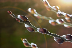 Willow branch with catkins Stock Images