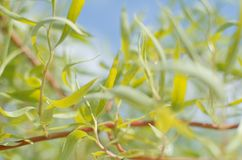 Willow Branch Closeup. Bright Young Green Willow Branch Closeup in the Spring Stock Image