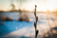 Willow branch in the cold Stock Photos