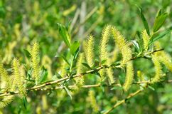 Willow branch with earrings. A branch of a blossoming willow lat. Salix stock images