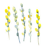 Willow branch flower blossom watercolor painting. Stock Photos