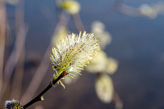 Willow branch. Flowering willow branch against a background of water Stock Image