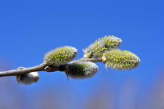 Willow branch. Royalty Free Stock Photos