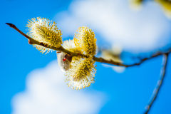 Willow branch with flowers Royalty Free Stock Photography