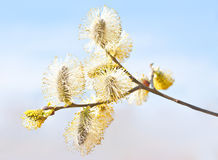 Willow branch with flowers. Royalty Free Stock Photography