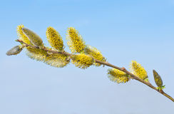 Willow branch with flowers. Stock Photography