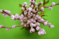 Willow branch with fluffy buds in a vase, top view, macro, blurred background on green backdround stock photography
