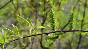 Willow branch with fresh green osier foliage. Beautiful willow branch with fresh light green lush osier foliage blown gently by wind in spring or summer. Salix stock video