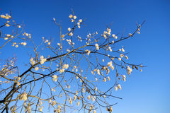 Willow branch with a furry catkins against the blue sky. Stock Photo