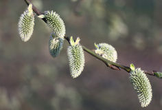 Willow branch in the green. Royalty Free Stock Photography