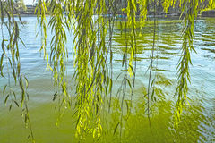 Willow branch. At lakeside in spring Stock Photos