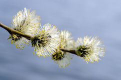 Willow branch over water. Flowering willow branch over water Royalty Free Stock Images