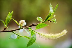Willow branch. With several buds, leafs, blur background Stock Photo