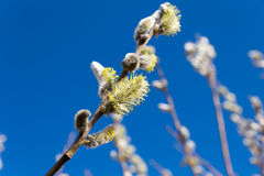 Willow branch sky background Stock Images
