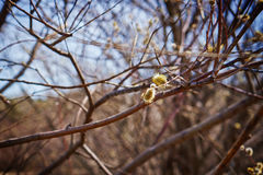 Willow branch with yellow catkin Stock Image
