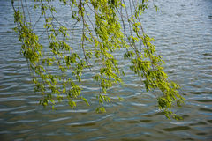 Willow branches Royalty Free Stock Photos