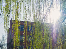 Willow branches on background with sunlight flares Royalty Free Stock Photos