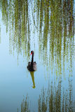 Willow branches and black swan Stock Photo