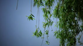 Willow branches on blue background stock video footage