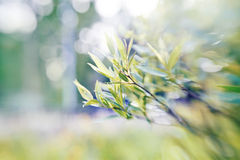 Willow branches on blurred background with bokeh. Stock Photography