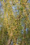 Willow branches Royalty Free Stock Photo