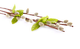 Willow branches Royalty Free Stock Images