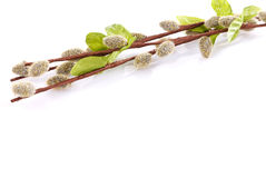 Willow branches Stock Images
