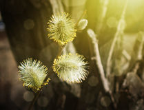 Willow branches in close-up. Stock Photo