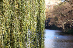 Willow branches coming down Royalty Free Stock Photos
