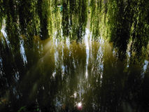 Willow branches dipping in a river. Dappled light of hanging Willow branches reflected in a river Stock Photo