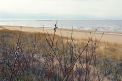 Willow branches in the dunes of the Baltic Sea Stock Photo