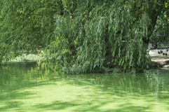 Willow branches hang over the surface stock images