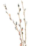 Willow branches Royalty Free Stock Image