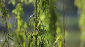 Willow branches on the nature stock video footage