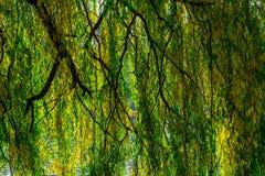 Willow Branches onder Rivier in de Herfst Stock Foto's