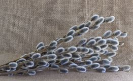 Willow Branches imagens de stock