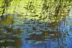 Willow Branches Over Lily Pad Covered Pond Royalty Free Stock Image