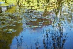 Willow Branches Over Lily Pad täckte dammet Fotografering för Bildbyråer