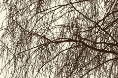 Willow branches in spring Royalty Free Stock Images